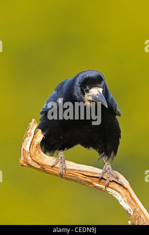 Rook (Corvus frugilegus) perched on dead branch, Oxfordshire, UK - Stock Photo