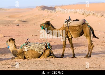 Morocco, Erg Chebbi dunes, two saddled camels - Stock Photo