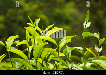 Strongly flavoured, aromatic high altitude Uva tea growing in the Namunukula Mountains; Ella, Central Highlands, - Stock Photo