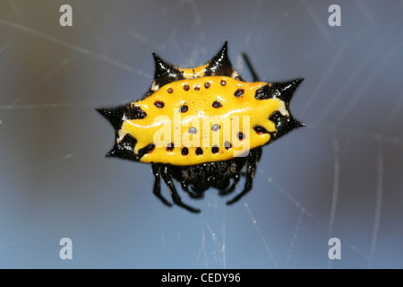 Crab Spider Gasteracantha cancriformis - Stock Photo