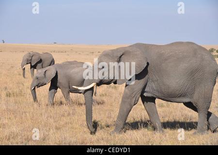 Elephants in the Savanna - Stock Photo