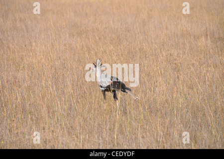 Secretary Bird in the African Savanna - Stock Photo