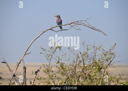 Lilac breasted Roller Bird - Stock Photo