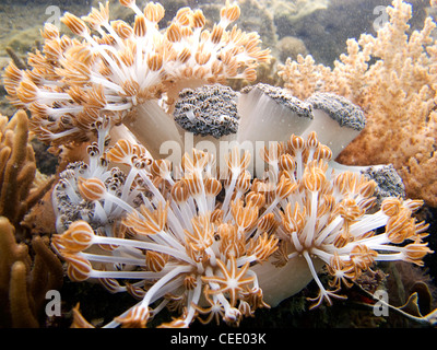 Soft corals on the reef - underwater - Stock Photo