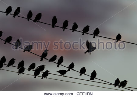 A flock of European starlings (Sturnus vulgaris) roost on overhead wires in Snohomish County, Washington. - Stock Photo