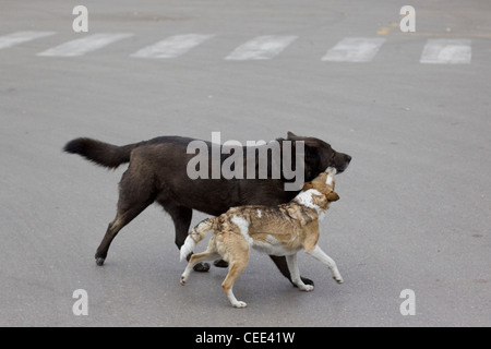 Free-ranging dog  Playing in Pompeii Italy  Canis lupus dingo - Stock Photo
