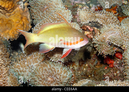 Male Threadfin Anthias, or Basslet, Pseudanthias huchti, also known as Pseudanthias huchtii. - Stock Photo