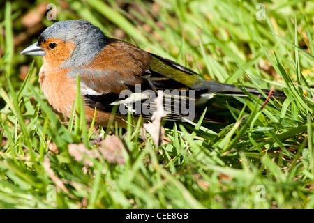 chaffinch male at rest on grass - Stock Photo