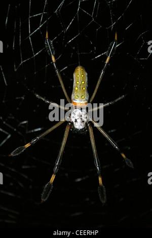 Golden Orb-web Spider Nephila clavipes - Stock Photo