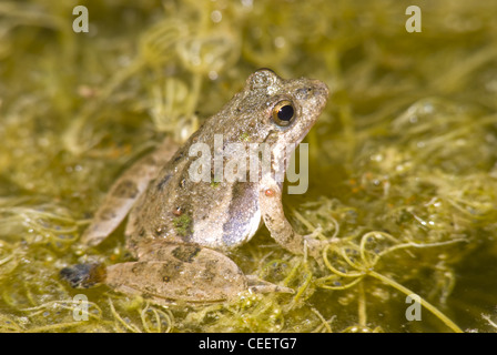Blanchard's Cricket Frog, (Acris blanchardi), LBJ National Grasslands, Wise county, Texas, USA.
