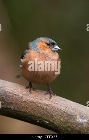 Chaffinch Fringilla Coalebs Woodland bird Numerous Common Garden bird  Small Bird Animal specimen organism Male. - Stock Photo