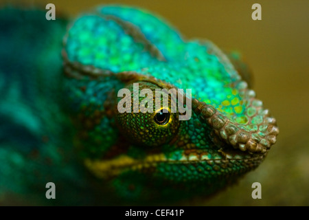 Head of colorful Panther chameleon or Chamaeleo pardalis in close view with shallow dept of field - Stock Photo