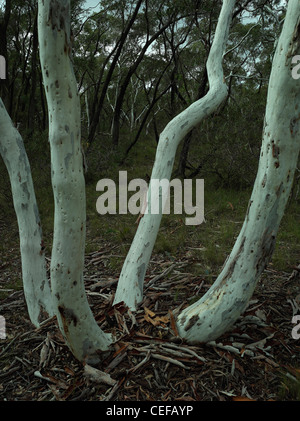 Scribbly gum trunks which have grown from same base / lignotuber, Morton National Park, NSW Australia - Stock Photo