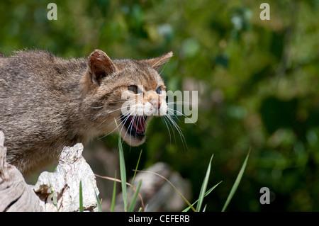 Scottish Wild Cat (Felis silvestris grampai) - Stock Photo