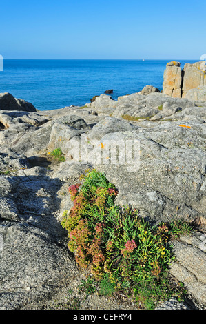 Rock samphire (Crithmum maritimum) growing on top of cliff along the Côte sauvage, Loire-Atlantique, Pays-de-la - Stock Photo