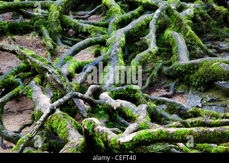 Mossy Exposed Tree Roots Aysgarth Yorkshire Dales England - Stock Photo
