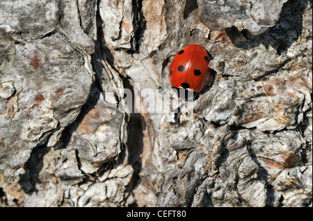 Seven-spot ladybird / Seven-spotted ladybug (Coccinella septempunctata) looking for a spot to hibernate in tree - Stock Photo