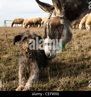 A donkey and a dog, with a stone in his mouth, plays together. A sheep flock grazes behind them. Beauty and bucolic - Stock Photo