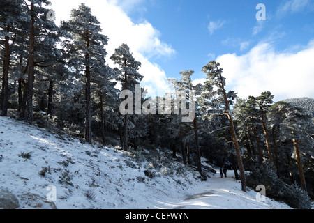 Winter landscape with snow and pines in Navacerrada - Stock Photo