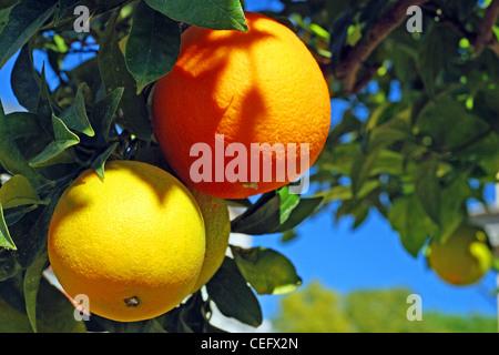 Two oranges on an orange tree - Stock Photo