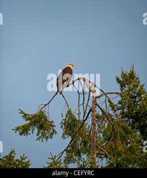 American Bald Eagle (Haliaeetus leucocephalus) resting by its nesting tree. SCO 7974 - Stock Photo