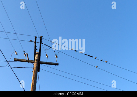 Pigeons congregating on telephone wires - Stock Photo