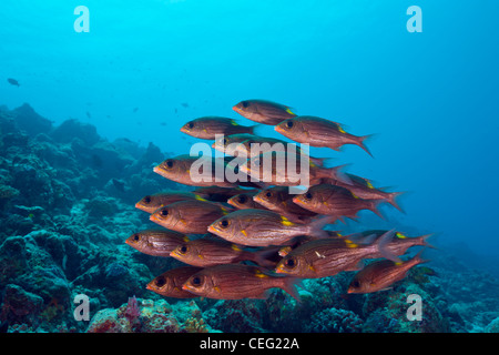 Shoal of Glowspot Emperor, Gnathodentex aurolineatus, Baa Atoll, Indian Ocean, Maldives - Stock Photo