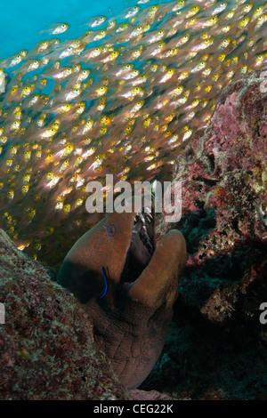 Giant Moray hiding between Rocks, Gymnothorax javanicus, Baa Atoll, Indian Ocean, Maldives - Stock Photo