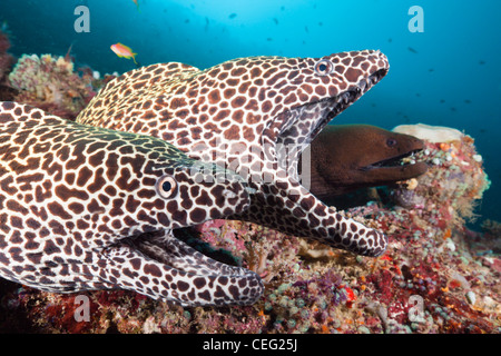 Pair of Honeycomb Moray, Gymnothorax favagineus, North Male Atoll, Indian Ocean, Maldives - Stock Photo