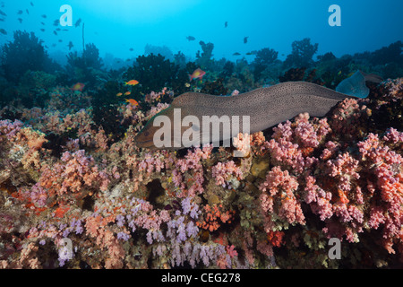Giant Moray over Coral Reef, Gymnothorax javanicus, North Male Atoll, Indian Ocean, Maldives - Stock Photo