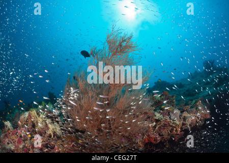 Coralfishes circle around Black Coral, Antipathes dichotoma, Baa Atoll, Indian Ocean, Maldives