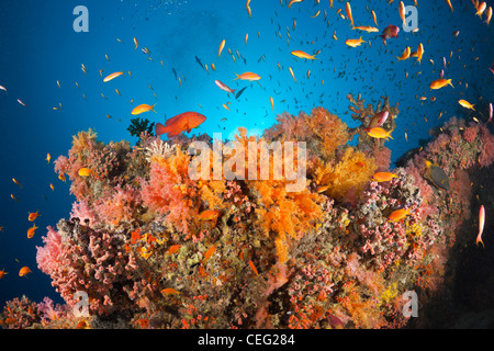 Coral Fishes over Soft Coral Reef, Baa Atoll, Indian Ocean, Maldives - Stock Photo