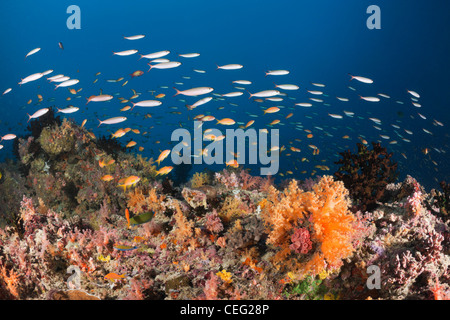 Coral Fishes over Soft Coral Reef, North Male Atoll, Indian Ocean, Maldives - Stock Photo