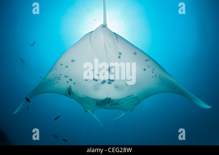 Manta, Manta birostris, North Male Atoll, Indian Ocean, Maldives - Stock Photo
