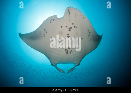 Manta, Manta birostris, Hanifaru Bay, Baa Atoll, Maldives - Stock Photo