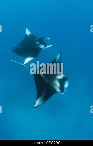 Two Manta, Manta birostris, Hanifaru Bay, Baa Atoll, Maldives - Stock Photo