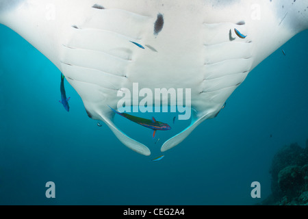 Manta over Cleaning Station, Manta birostris, Hanifaru Bay, Baa Atoll, Maldives - Stock Photo