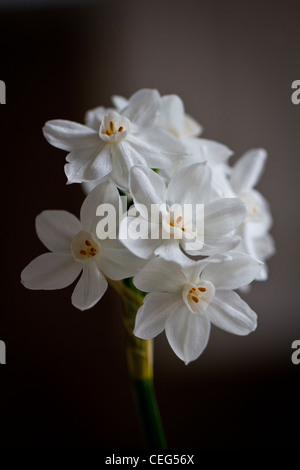 White paperwhite ziva flowers on a black background, lit by natural daylight from a nearby window - Stock Photo