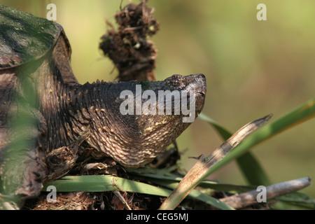 snapping turtle on muskrat lodge marsh ohio sunning - Stock Photo