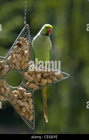 Rose-ringed parakeet, ringnecked parakeet or Psittacula krameri sitting on feeding hanger filled with peanuts - Stock Photo