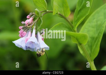 Virginia Bluebells flower. With Honey Bee. Cincinnati Nature Center. Cincinnati, Ohio, USA. Mertensia virginica. - Stock Photo