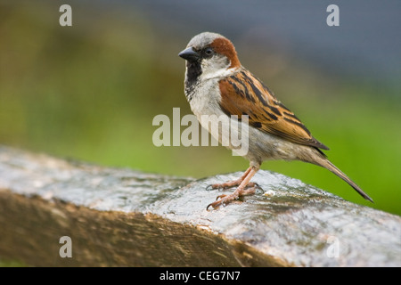 House sparrow or Passer domesticus on rainy day sitting on fence - Stock Photo
