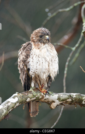 Red-tailed Hawk in the Rain - Stock Photo