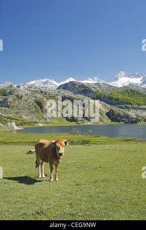 Asturian Valley cattle, Lago Ercina glacial lake, Lakes of Covadonga in the Picos de Europa, Asturias, Spain - Stock Photo