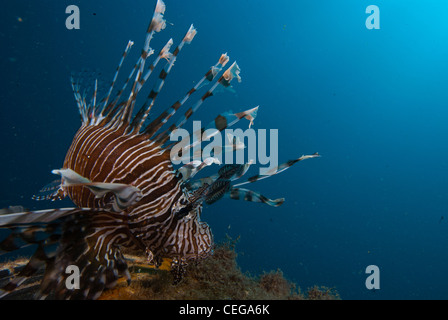 A close focus wide angle image of a lionfish (Pterois Volitans) with beautiful and clear blue water in the background. - Stock Photo