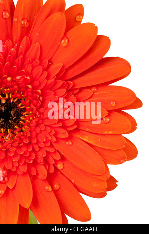 Closeup of a half red daisy blossom with water droplets on white background - Stock Photo
