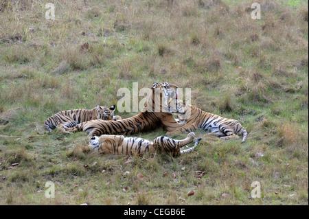 Bengal tiger (Panthera tigris) family in Bandhavgarh National Park, Madhya Pradesh, India - Stock Photo