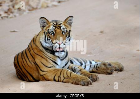 Bengal tiger cub (Panthera tigris) in Bandhavgarh National Park, Madhya Pradesh, India - Stock Photo