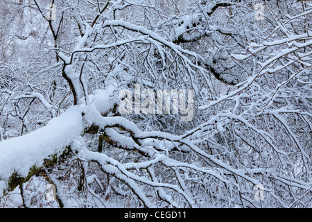 Snow covers the trees at Strid Wood, Barden, Wharfedale, Yorkshire - Stock Photo