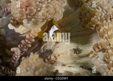 A juvenile clark (clown) anemonefish in its home anemone . Taken in bunaken National Park , Indonesia - Stock Photo